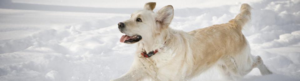 Dog-Yellow-Lab-running-snow
